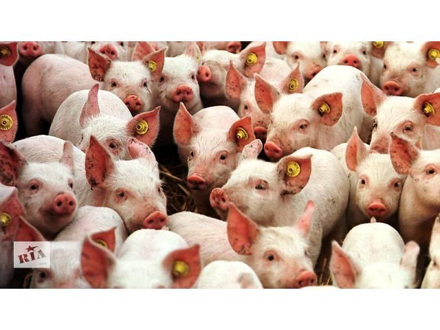 купить бу Продам поросят, поросята, свинки, свинья, мясная свинья, месячные в Полтаве