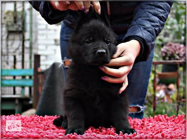 купить бу Продам прекрасных щенков  немецкой овчарки в Киеве