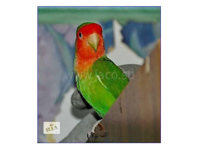 Продам птенчиков попугая Неразлучника- объявление о продаже  в Харькове