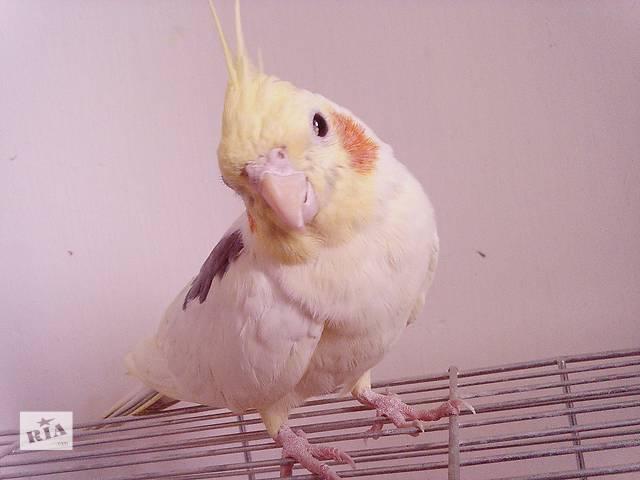 Продам ручного папугу (корела)- объявление о продаже  в Ровно