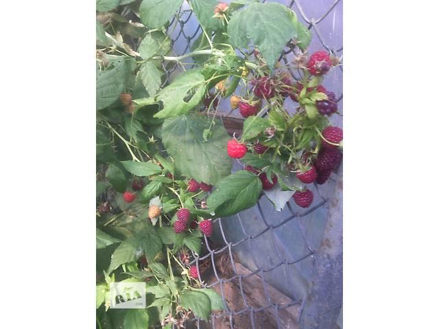 бу Продам саженцы малины в Тернополе