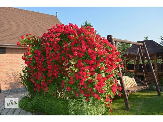 купить бу Продам саженцы розы плетистой в Ахтырке