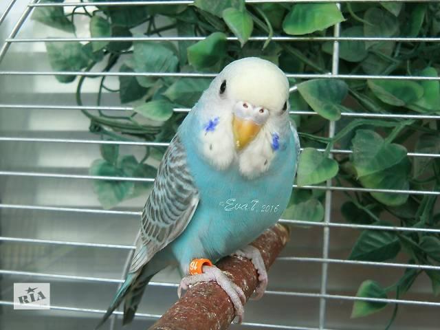 купить бу Продам самочку волнистого попугая редкого окраса в Киеве