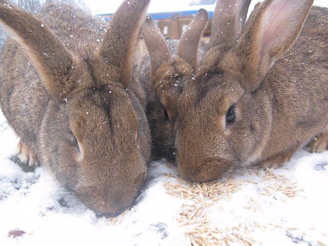 продам Продам кроликов и кролиц бу в Виннице