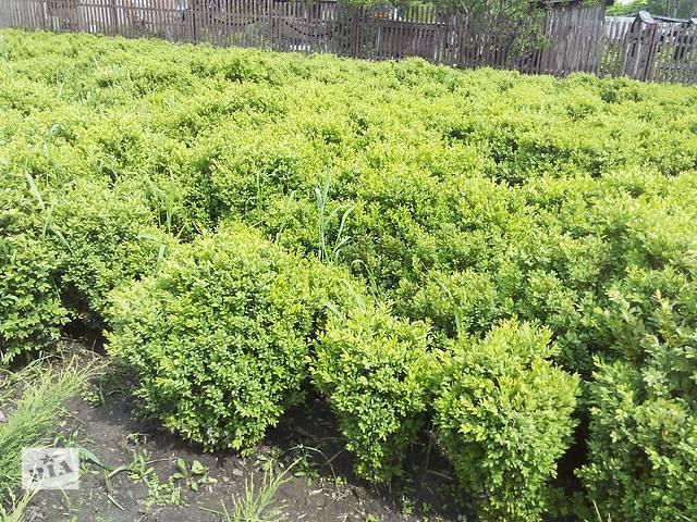 бу Продам самшит вечнозеленый в Харькове