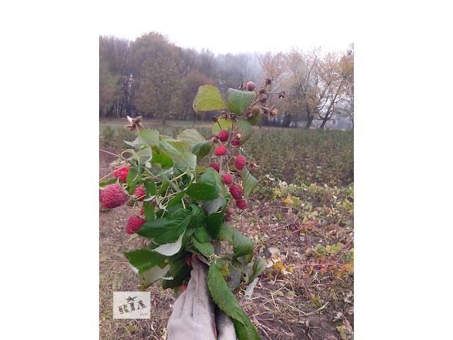 продам саженцы малины (доставка)- объявление о продаже  в Тернополе