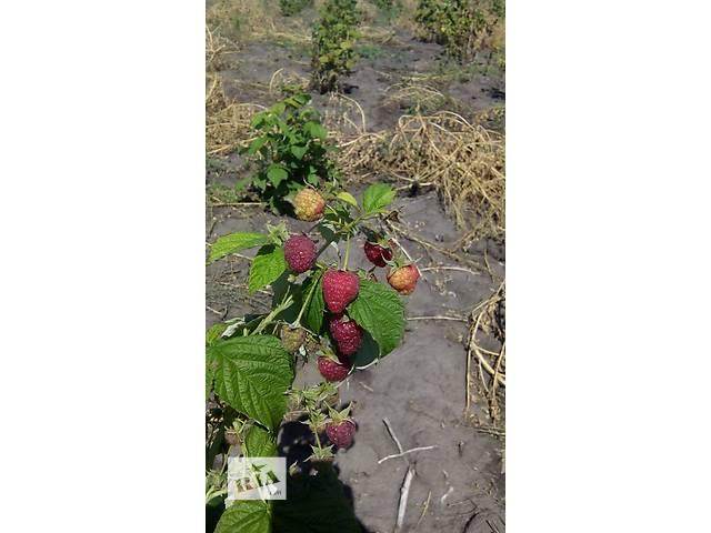 продам Продам саженцы малины «Полана» бу в Киеве