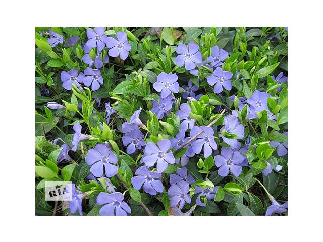 бу Продам саженцы барвинка: голубой и сине-фиолетовый. в Херсоне