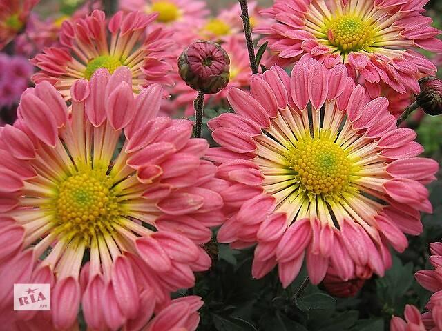 продам Продам саженцы корейских мелкоцветковых низкорослых и огородно-горшечных хризантем. бу в Херсоне