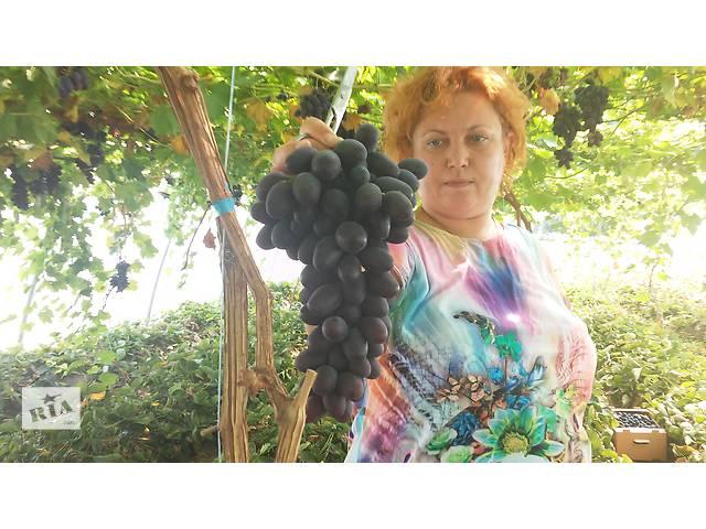 Продам саженцы винограда Приображение, Лорано, Ливия- объявление о продаже  в Новой Каховке