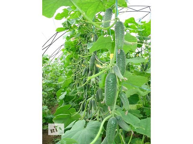 бу Продам семена Огурец Кибрия (Rijk Zwaan Голландия) в Харькове