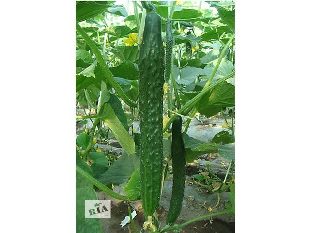 Продам семена Огурец Китайское чудо- объявление о продаже  в Харькове