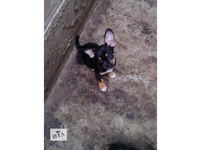 продам Продам щенка чихуахуа бу в Кропивницком (Кировоград)