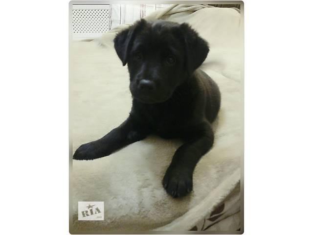 купить бу Продам щенка - девочку - помесь с овчаркой в Одессе