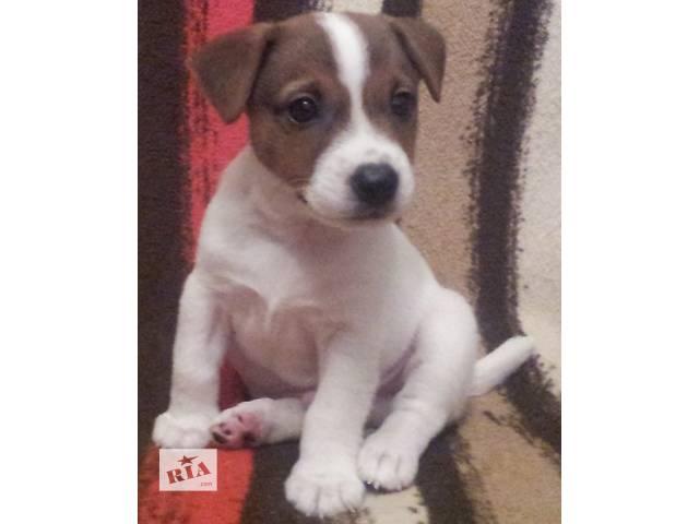 Продам щенка Джек Рассел терьера- объявление о продаже  в Черкассах