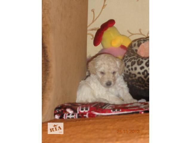 продам Продам щенка карликового пуделя бу в Сумах