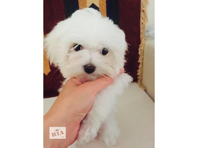 Продам щенка мальтезе- объявление о продаже  в Киеве