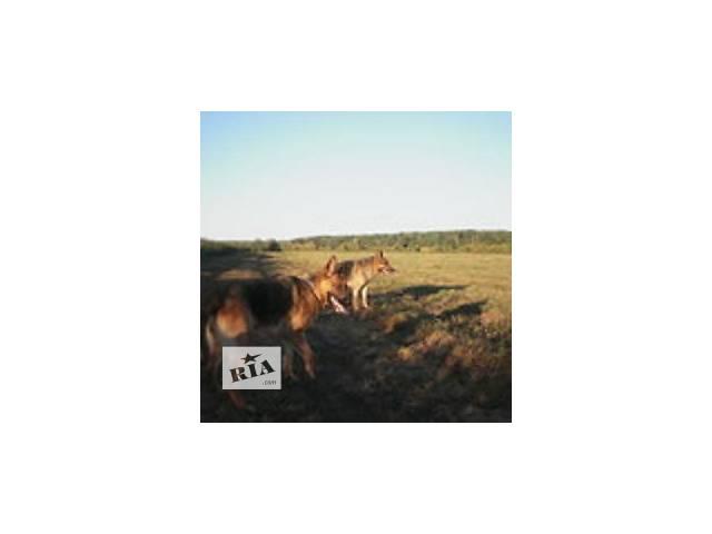 Продам щенка немецкой овчарки 4мес., кобелек с идеальным чепрачным окрасом- объявление о продаже  в Киеве