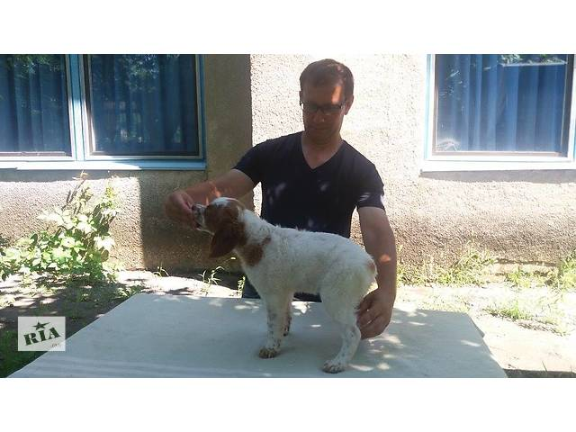 бу Продам щенка породы Эпаньол Бретон кабель в Днепре (Днепропетровске)