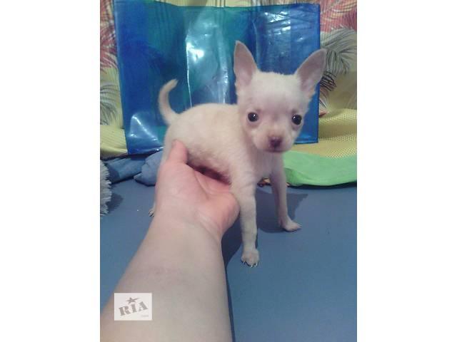 продам Продам щенка русского-тоя бу в Кропивницком (Кировоград)