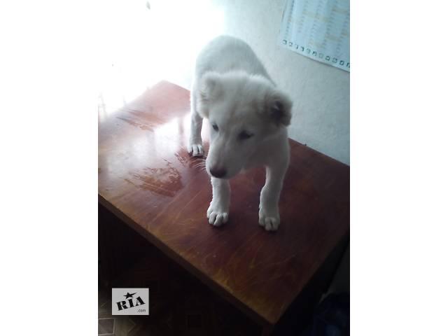 купить бу продам щенка САО в Днепре (Днепропетровск)