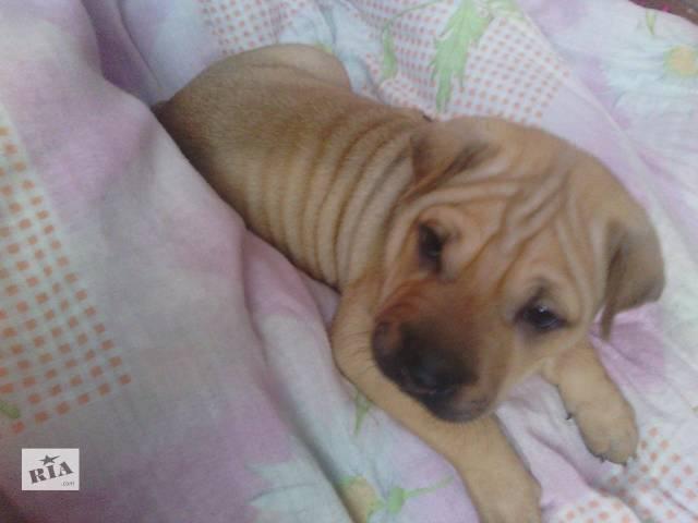 продам щенка-шарпея(девочка)- объявление о продаже  в Ровно
