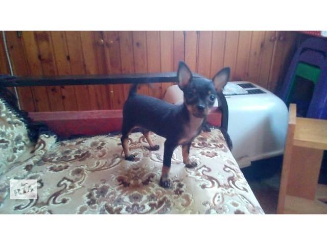 купить бу Продам щенка Той-терьер мини в Одессе