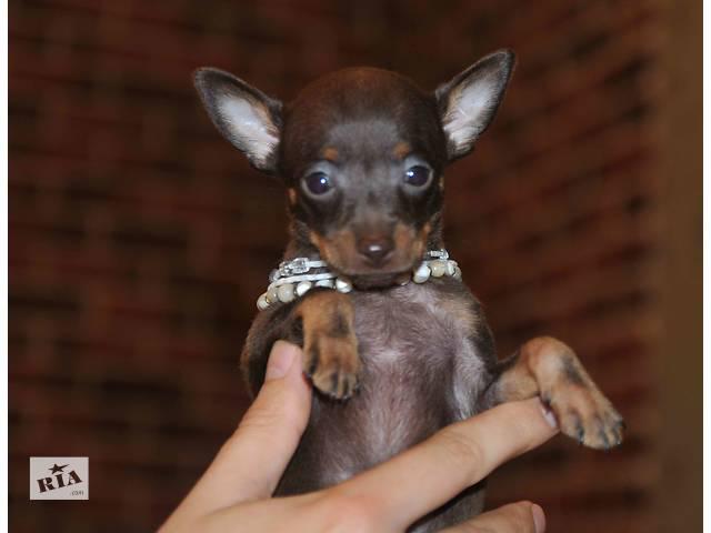 продам щенка той терьер- объявление о продаже  в Харькове