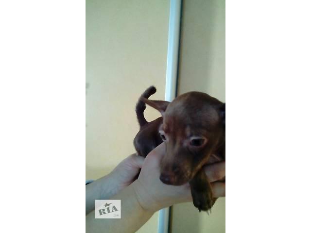продам продам  щенка той-терьера (девочка) бу в Днепре (Днепропетровск)