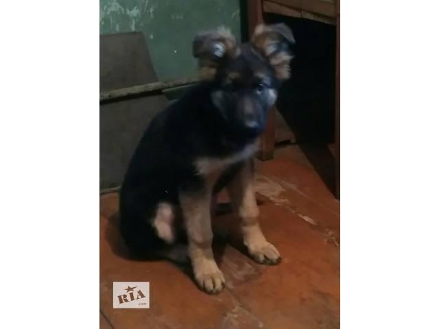 продам щенка- объявление о продаже  в Лисичанске