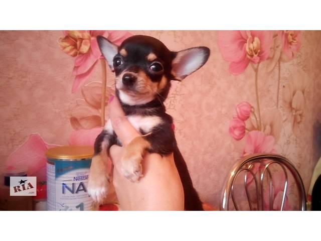 Продам щенков чихуахуа- объявление о продаже  в Харькове