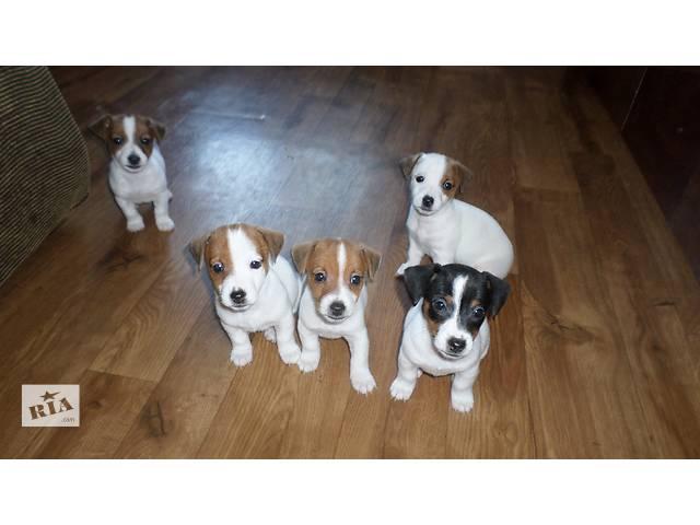 Продам щенков Джек Рассел терьера- объявление о продаже  в Днепре (Днепропетровск)