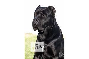Продам щенков Кане-Корсо от импортного производителя