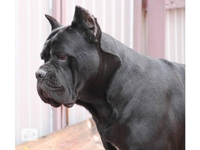 бу продам щенков кане   корсо в Одессе