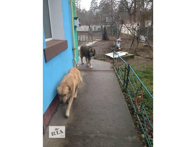 бу продам щенков кавказкой овчарки в Киеве