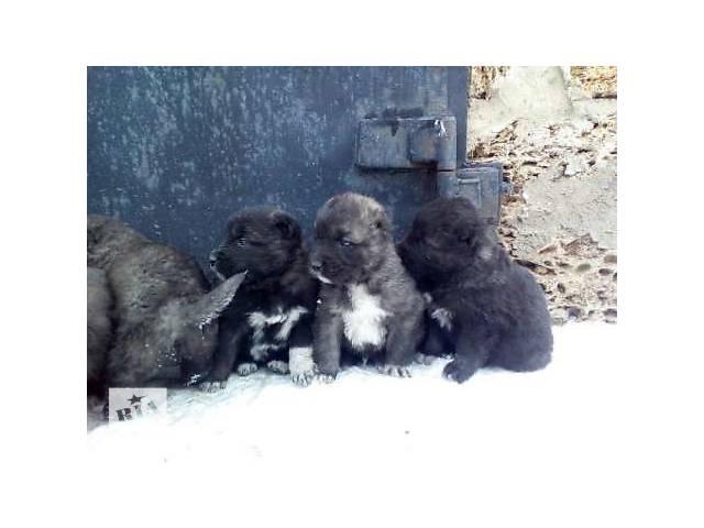 продам Продам щенков кавказской овчарки бу в Синельниково