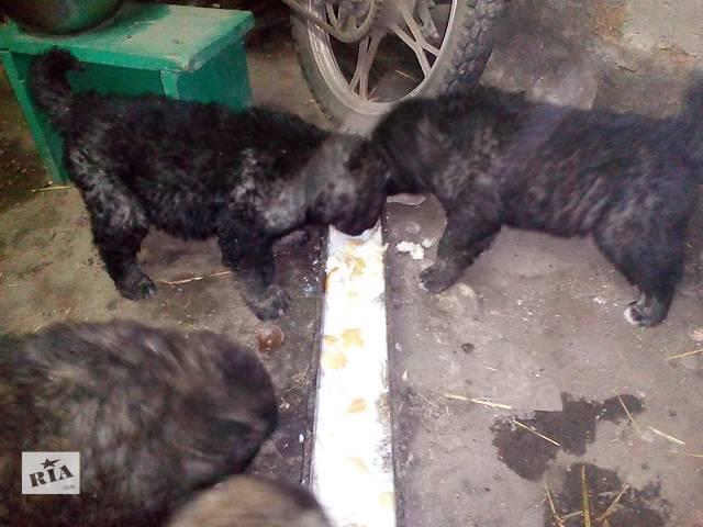 Продам щенков кавказской овчарки- объявление о продаже  в Синельниково