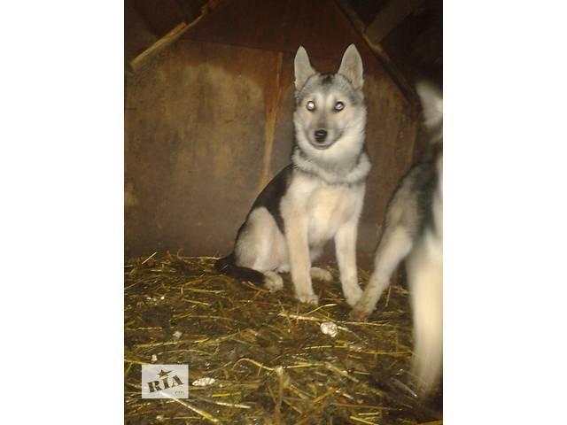 Продам щенков Хаски- объявление о продаже  в Гребенке