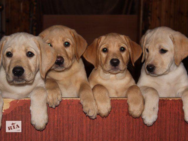 Продам щенков лабрадора- объявление о продаже  в Виннице