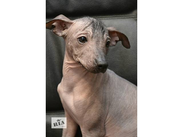 Продам щенка от чемпиона- объявление о продаже  в Харькове