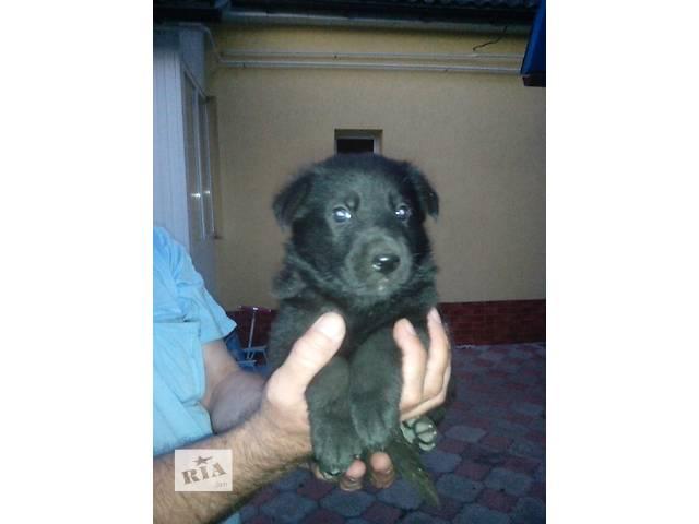 Продам щенков немецкой овчарки черного окраса.Щенки первого помета.. - объявление о продаже  в Житомире