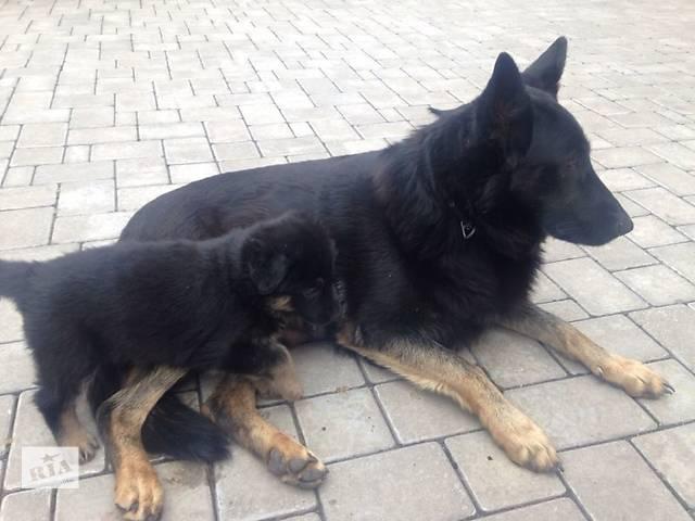 купить бу Продам щенков немецкой овчарки в Запорожье