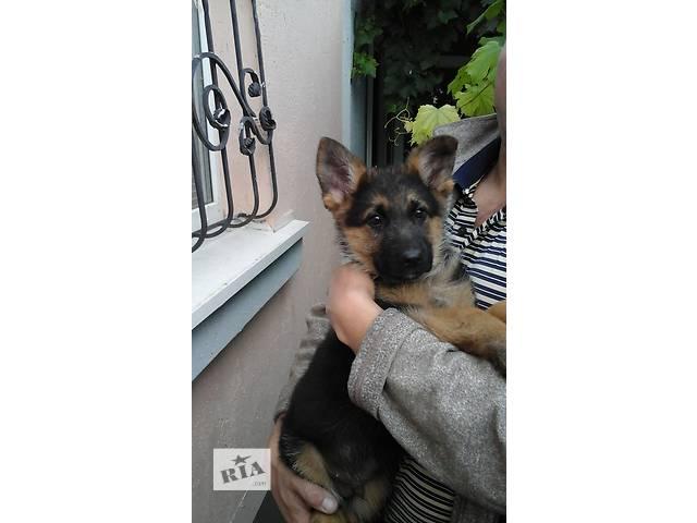 Продам щенков немецкой овчарки- объявление о продаже  в Запорожье