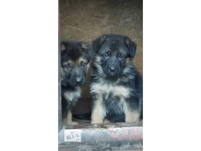 Продам щенков немецкой овчарки - объявление о продаже  в Киеве
