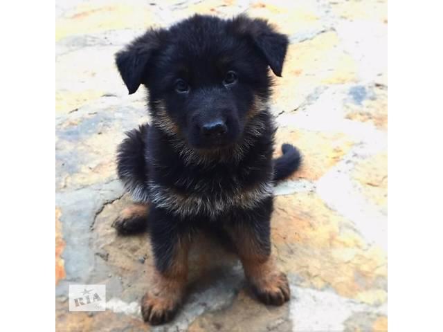 продам Продам щенков немецкой овчарки бу в Виннице
