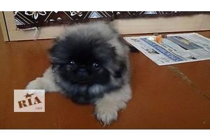 Продам девочку-щенка императорского пекинеса