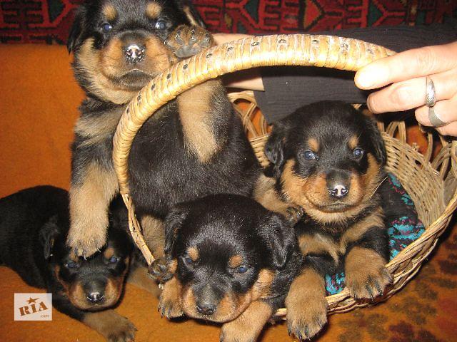 2500 грн - продам щенков чау-чау