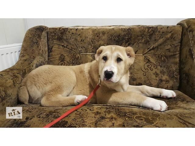 Продам щенков САО(Алабаи)- объявление о продаже  в Вышгороде