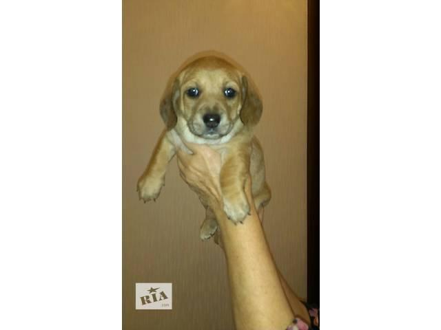 Продам щенков вельш корги почти даром!!!- объявление о продаже  в Виннице