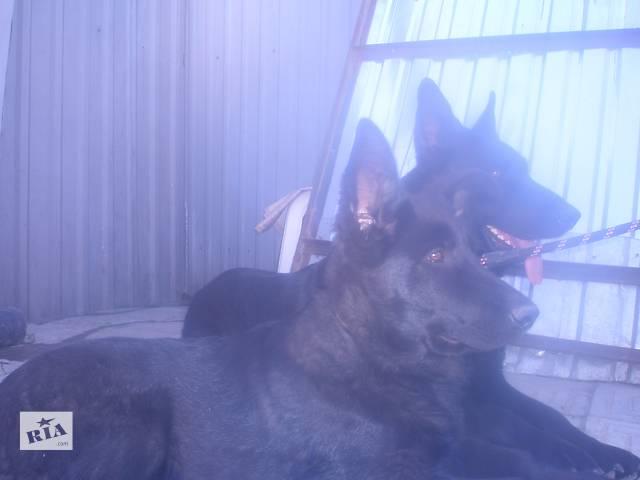 продам продам щенков восточноевропейской овчарки черного окраса бу в Одессе